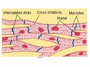 Communication Between Cardiac Muscle Cells In The Heart Of