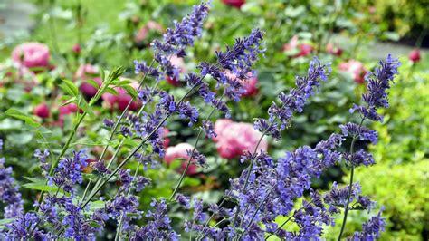 Welche Pflanzen Passen Zu Rosen?
