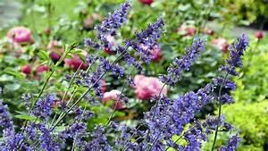 Begleitpflanzen Für Rosen : welche pflanzen passen zu rosen ratgeber ~ Lizthompson.info Haus und Dekorationen