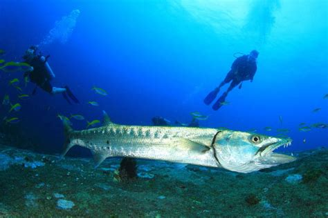 diving  barracuda dive  world creature features