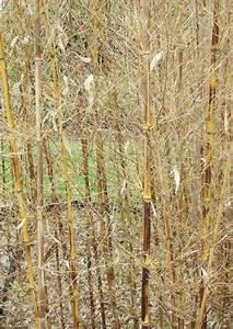 Bambus Zurückschneiden Frühjahr : bambus erfroren was tun keine panik ~ Whattoseeinmadrid.com Haus und Dekorationen