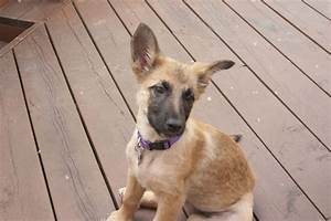 Belgium Malinois, 3 months old, re-pin if you love smart ...
