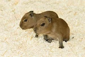 Capybara - ZooBorns