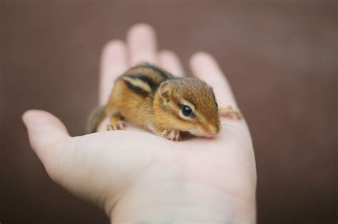 1000 Images About Baby Squirrelsbaby Chipmunks On