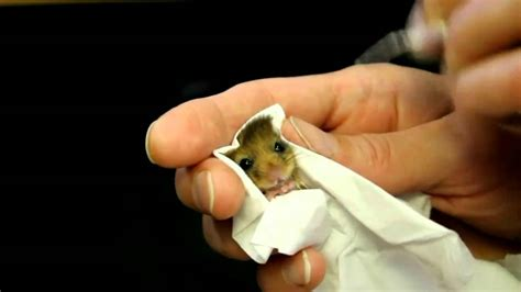 baby dormouse  fed youtube