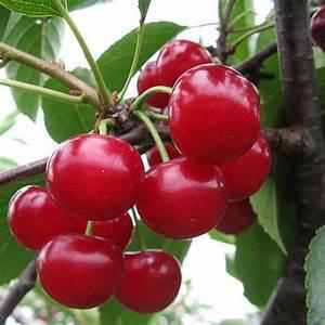 Natural Red Cherry Fruit   U091a U0947 U0930 U0940