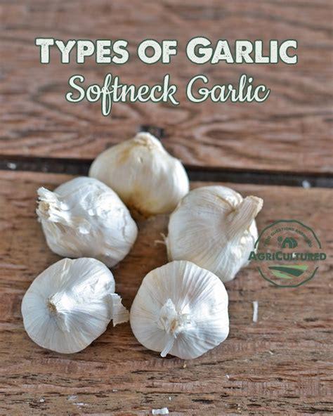 types of garlic my fearless kitchen