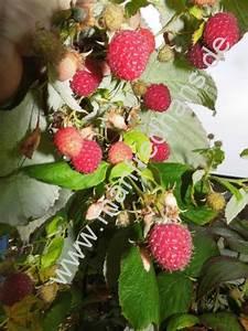 Himbeere Aroma Queen : himbeere aroma queen pflanzenrarit ten aus mecklenburg vorpommern ~ Orissabook.com Haus und Dekorationen