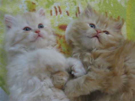 Vendo Gatti Persiani by Cuccioli Di Gatti Persiani Petpassion