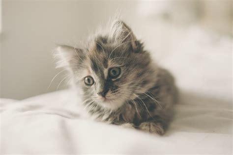 american longhair cat cat breeds encyclopedia