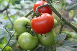 Tomaten Wann Pflanzen : tomaten pflanzen wann auf natur ~ Frokenaadalensverden.com Haus und Dekorationen