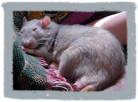 rats as pets home www petrats org
