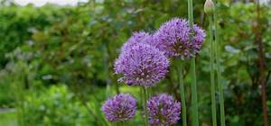 Allium Pflanzen Im Frühjahr : jetzt kommt allium in die erde das musst du ber zierlauch wissen willkommen in franks ~ Yasmunasinghe.com Haus und Dekorationen