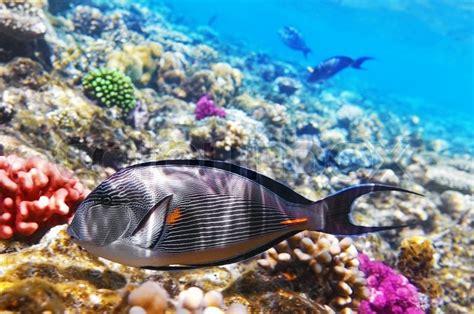coral  fish   red seafish surgeon stock photo