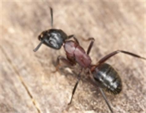 Biozide, Schädlingsbekämpfung, Ameisen Bekämpfen