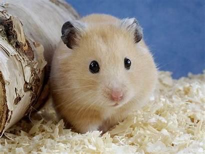 Hamster Wallpapers Animals Hamsters Animal Pet Adorable