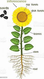 Sunflower Flower Morphology