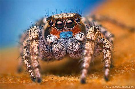 stunning macro   jumping spiders  thomas shahan