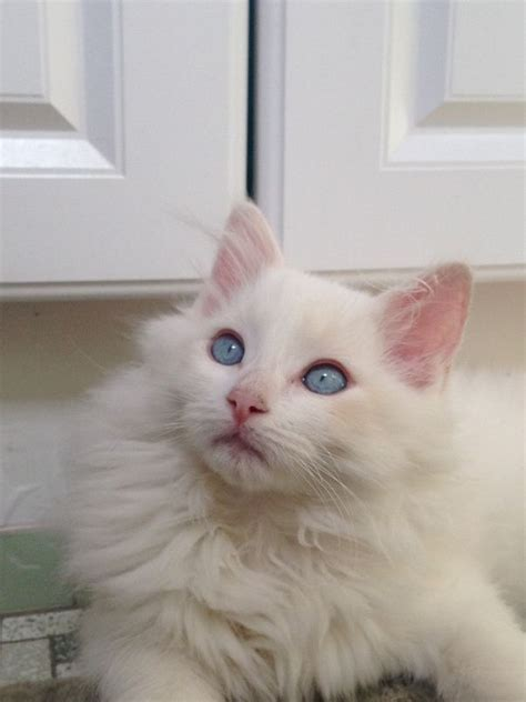 siamese cat cost much does average point seal ragdoll