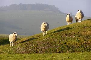 Megaliths and Sheep: Sheep on Bronkham Hill round barrows ...