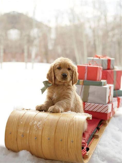 adorable puppy   sleigh  christmas presents