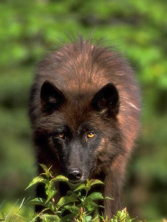 red mountain  wolf roleplay lone wolves character