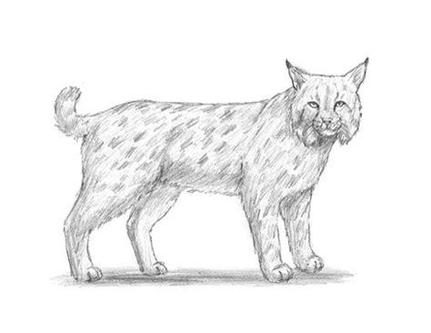 bobcat drawing images  pinterest animal design