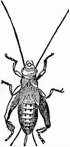 House Cricket Pupa