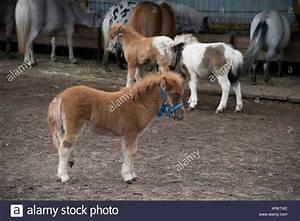 Black Shetland Pony Meadow Stock Photos & Black Shetland ...