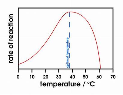 Activity Enzyme Temperature Factors Effect Affecting Enzymes