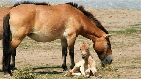 how are horses picture of a przewalski s horse and foal