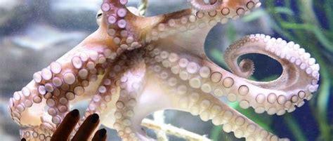 comment cuisiner des tentacule de poulpe pourquoi le poulpe ne s 39 emmêle jamais les tentacules le