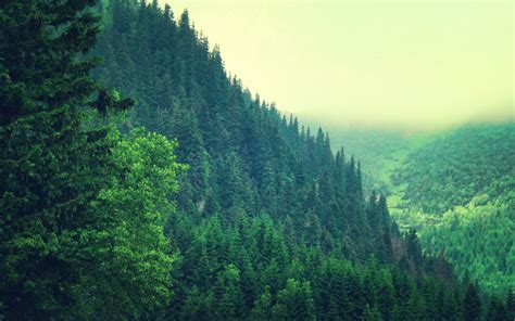Foggy Evergreen Forest Wallpaper Pine Forest Background Images 4872 Hd Wallpapers Site