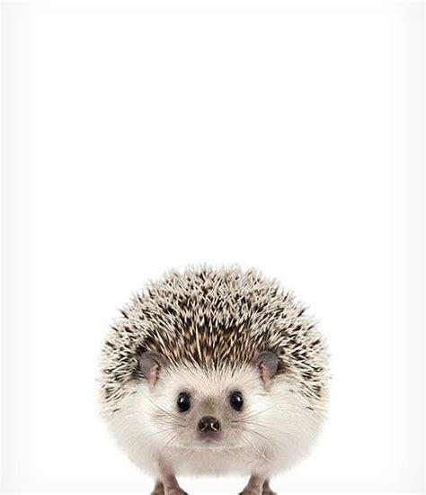 hedgehog print baby animal prints the crown prints