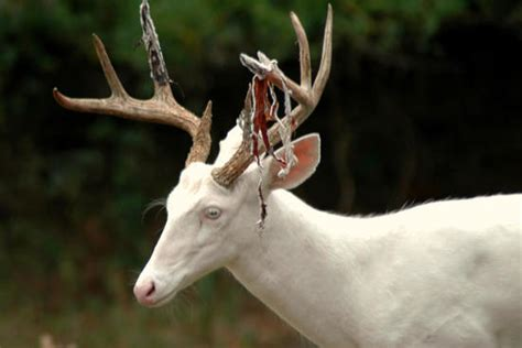 When Do Whitetails Lose Their Antlers by 10 Awesome Photos Of Deer Shedding Their Velvet Pics