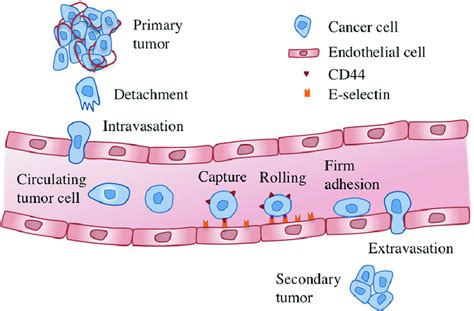 Metastasis is the process in which cancer cells spread ...