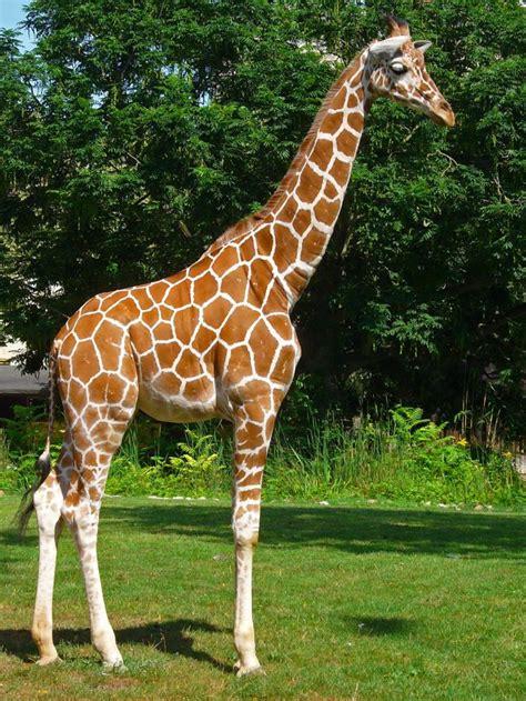 girafe cuisine signification ré des rêves de girafes