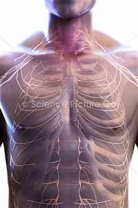Nerves Of The Chest - Spc-id-0838