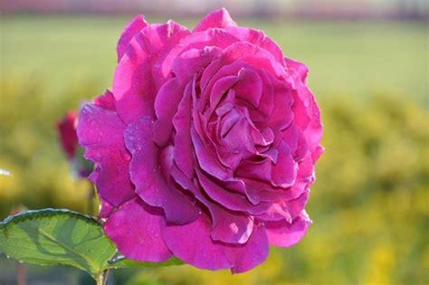 Check spelling or type a new query. 50+ Gambar Bunga Mawar Tercantik di Dunia (Warna Putih, Ungu, Pink dan Hitam) | Salamadian