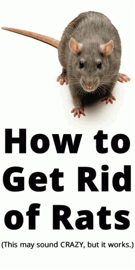 getting rid of rats how to get rid of rats to get how to get and rats