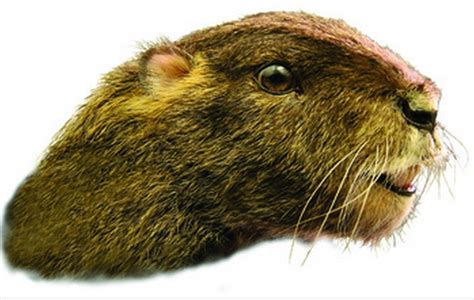 Scientists Discover Fossil of Bizarre Groundhog Like