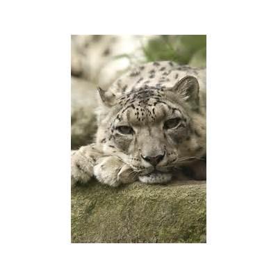 Serendipity: Eyes Like a Snow Leopard