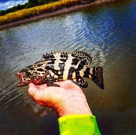 baby grouper goliath kayak fishing augustine st