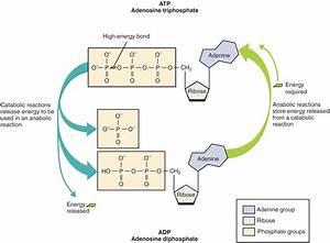 Adenosine Triphosphate  Atp   U2013 Definition And Synthesis