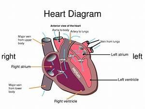 Human Circulatory System Diagram Labeled Basic