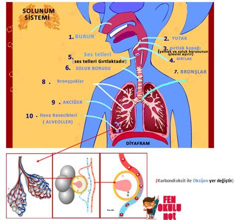 Solunum Sistemi ( Konu Anlatımı)