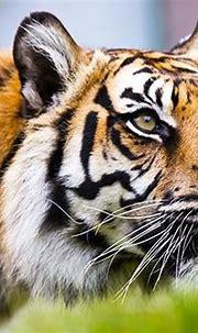 Sumatran Tiger close-up - Photo posters, canvas prints ...