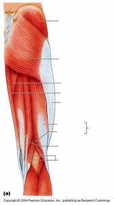 Unlabeled Upper Leg Muscles  Posterior