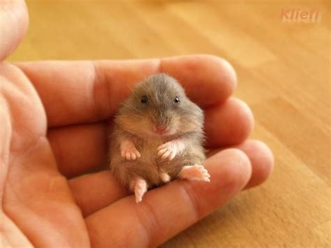 baby hamster a very cute baby hamster all things ladybird pinterest