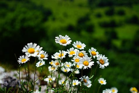 images nature grass blossom bokeh white field